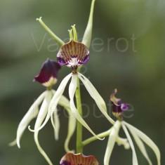 Fiche de culture de l'orchidée PROSTHECHEA de climat tempéré (anciennement Encyclia)
