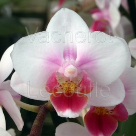 Phalaenopsis Brother Pico Sweetheart