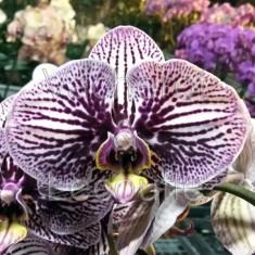 Phalaenopsis Big Zebra