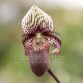 Paphiopedilum ciliolare rose