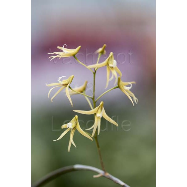 Dockrillia casuarinae