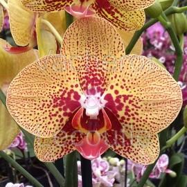 Phalaenopsis Elegant Charmer