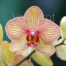 Phalaenopsis Baldan's Kaleidoscope