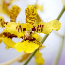 Oncidium montanum