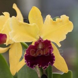 Cattleya Ocarina 'Atahualpa' (Lc.)