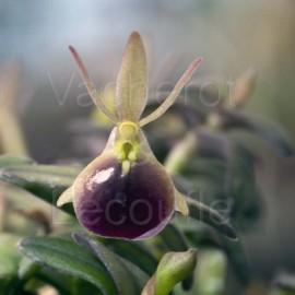 Epidendrum porpax (syn. Nanodes porpax)