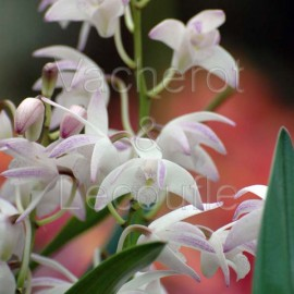 Dendrobium Berry 'Snow Fairy'