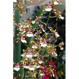 Cambria Jungle Monarch (Colm.)