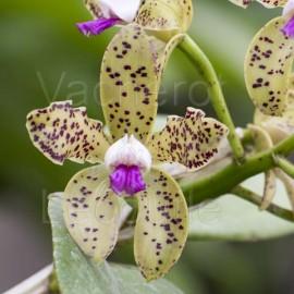Cattleya guttata