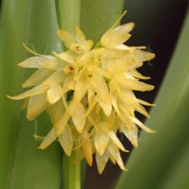 Myoxanthus octomeriae