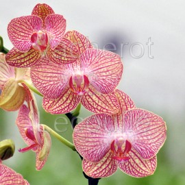 Phalaenopsis Ravello
