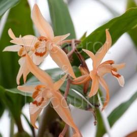 Coelogyne (monilirachis x lentiginosa)