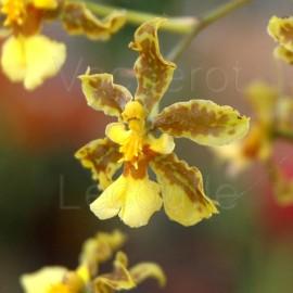 Oncidium altissimum (syn. jacquinianum)