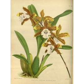 orchidee oncidium soins