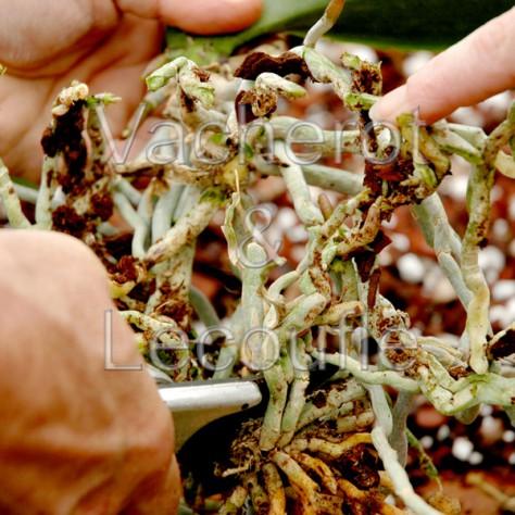 2018-09-15 - 10h30 Le rempotage des orchidées
