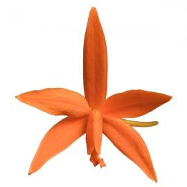 Cattleya mirandae