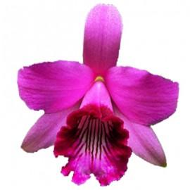 Cattleya bicalhoi (syn. Laelia dayana)