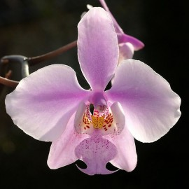 Phalaenopsis schilleriana 4N