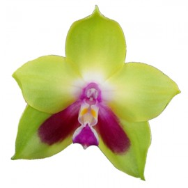 Phalaenopsis hybride KS Happy Eagle