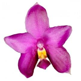 Phalaenopsis hybride George Vasquez