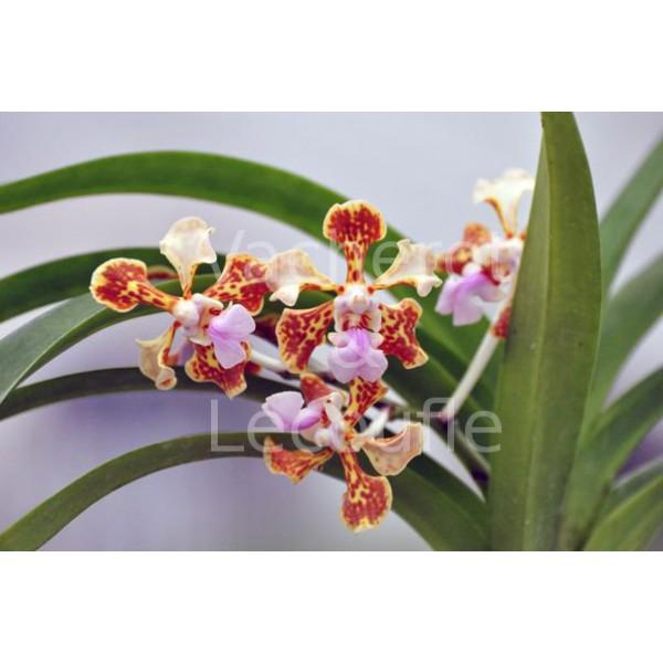 orchidee vanda tricolore