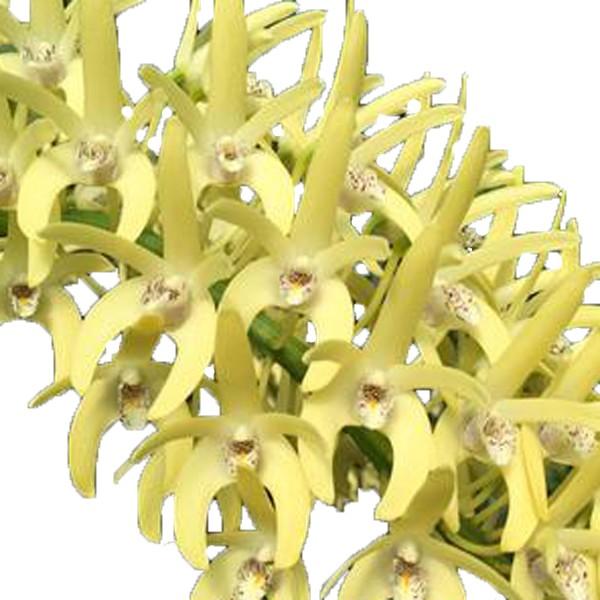 Dendrobium speciosum var. curvicaule 'Peninsula Princess'