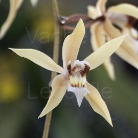 Coelogyne rochussenii