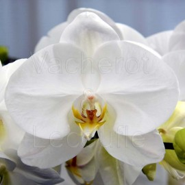 Phalaenopsis blanc classique