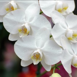 Phalaenopsis Snow Apple