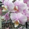 Phalaenopsis Philisander double plante