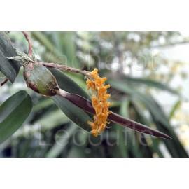 Bulbophyllum elassonotum var. dark