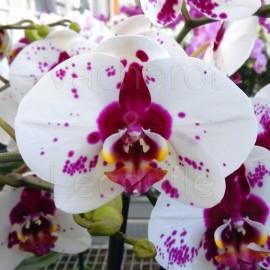 Phalaenopsis Picasso