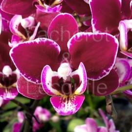 Phalaenopsis Cranberry 'Cha Cha'