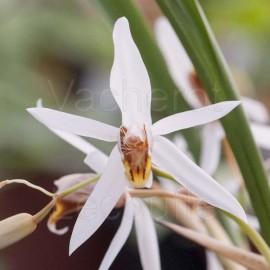 Coelogyne viscosa (syn. graminifolia)
