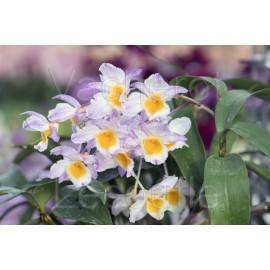 Dendrobium farmeri fma. rosea