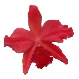 Cattleya Hazel Boyd 'Royal Scarlet'  AM/AOS (Slc.)