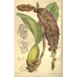 Bulbophyllum purpureorachis