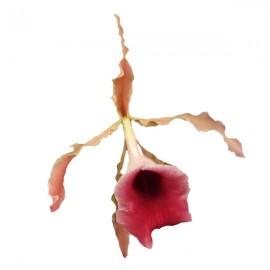 Trichopilia marginata (syn. coccinea)