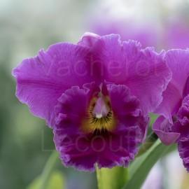 Cattleya Cornerstone 'Perfection' (Blc.)