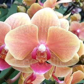 Phalaenopsis Grazia