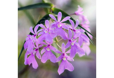 Epidendrum centropetalum (syn. Oerstedella centradenia. )