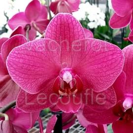 Phalaenopsis Pavarotti