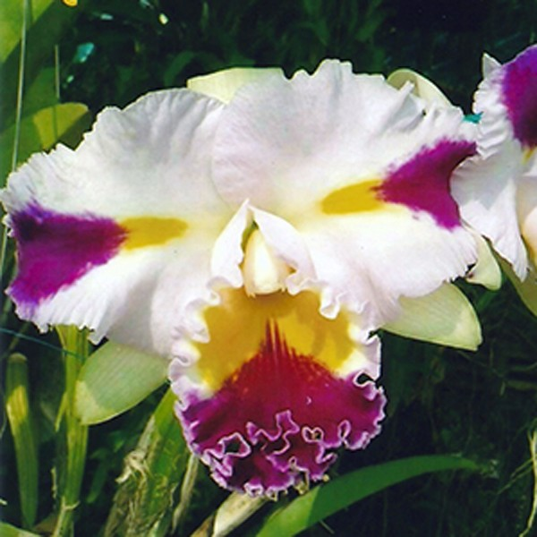 Cattleya Patchara Fancy (Blc.)
