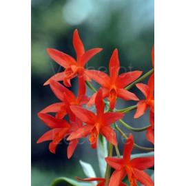 Cattleya Trick or Treat 'Orange Magic' (Lc.)