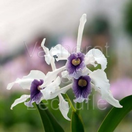 Laelia purpurata (var. werkhauseri x var. coerulea)