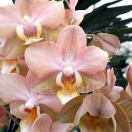 Phalaenopsis Aroma