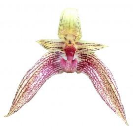 Bulbophyllum Sagarik