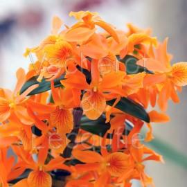 Dendrobium nobile Stardust 'Gem'