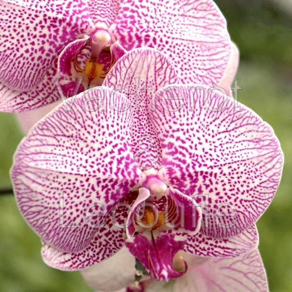 2020-11-14 - 10h30 La culture du phalaenopsis