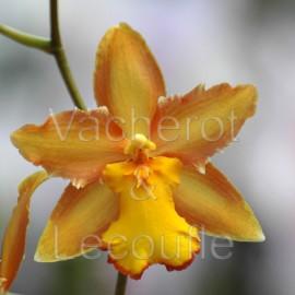 2020-04-04 - 10h30 Les orchidées à pseudobulbes